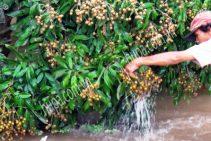 Giải pháp chống ngập úng trên vườn cây ăn trái