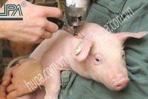 Tin vui cho ngành chăn nuôi lợn, dịch lở mồm long móng đã được ngăn chặn và tiếp tục đẩy lùi.